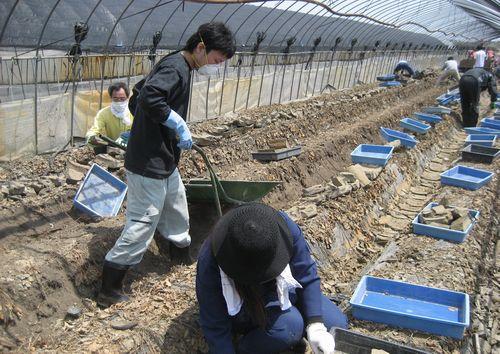 津波に襲われたイチゴのビニールハウスの泥を除去するボランティア=5月、宮城県亘理町